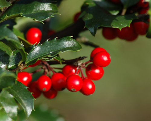christmas_holly_berries_big1